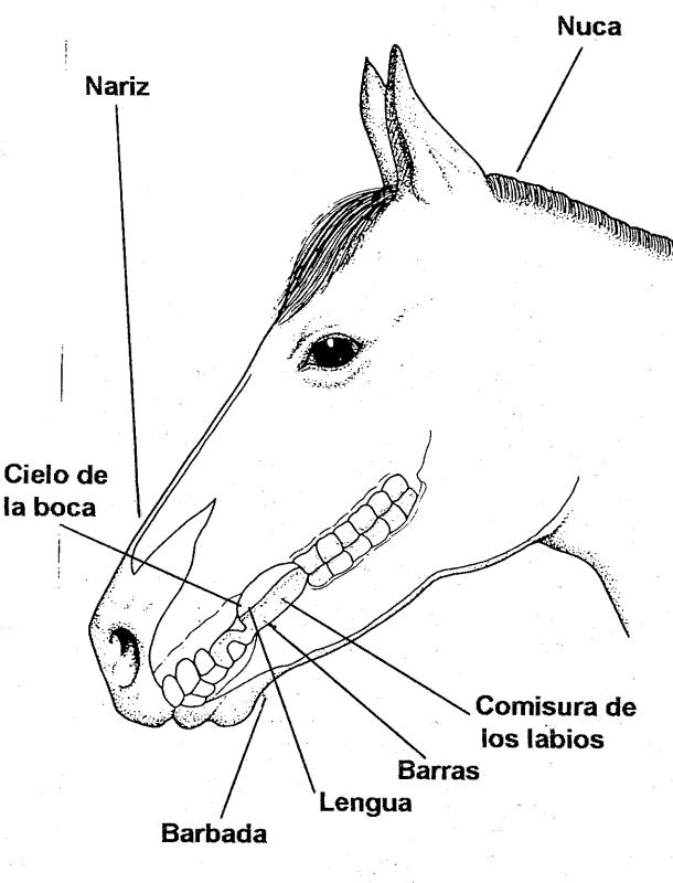 conformacion de la boca